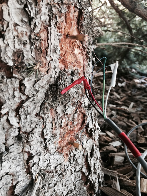 Here are what the installed sap flux sensors look like. They are the small needles sticking out of the trunk (where the bark has been scraped back). The upper needle is heated and the lower needle is unheated.